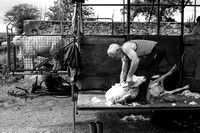 Travelling Sheep Shearing
